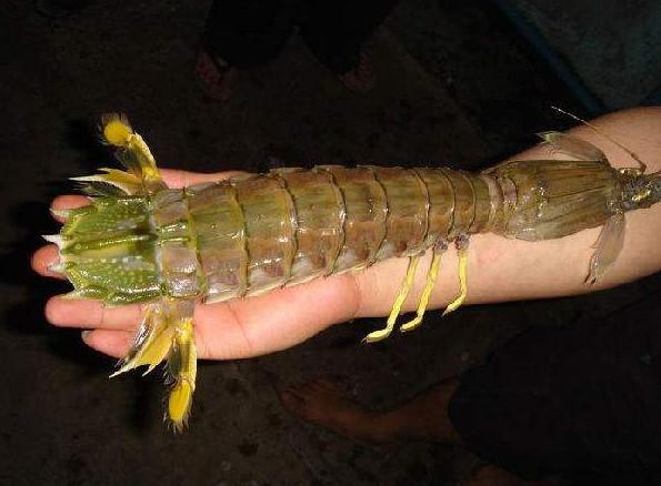 世界最凶狠的虾,最爱肢解动物到皮开肉绽,人类见到它竟直接断指