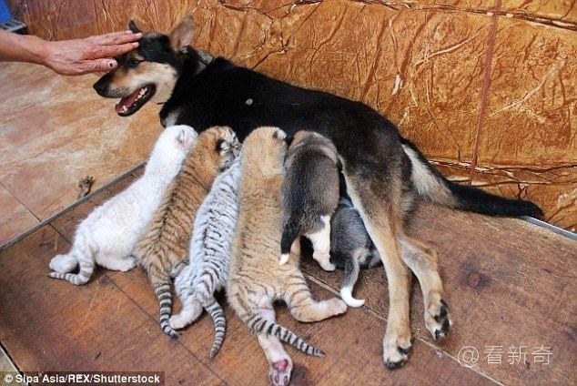 母狗善意收养四只小老虎,怀中喝奶的模样萌翻众人