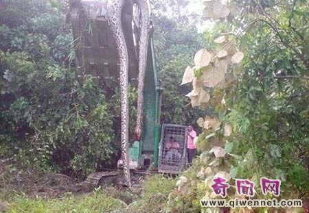 挖掘机施工时挖出身长近17米,粗1米大蛇,竟被当场吓死...