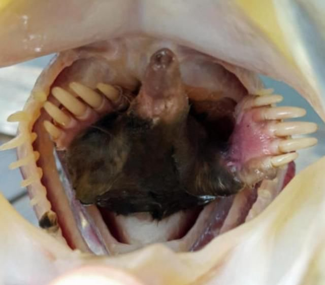 钓到一条鱼,扒开嘴巴发现一箭双雕?