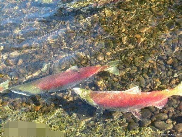 男子钓到罕见红鱼,却被令即刻放生