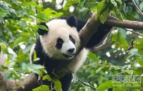 这事生活在中国四川的大熊猫的可爱特征.