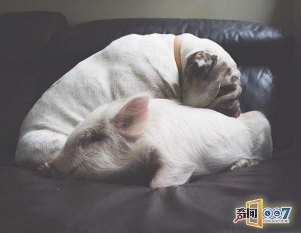 猪和其它动物相处