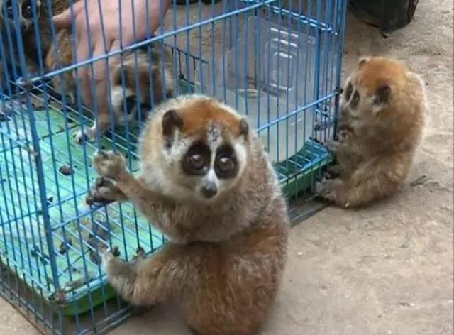 看起来超可爱的吧~~是不是很想养一只做宠物?    别怪小编没有提醒你,养蜂猴当宠物,是一种犯罪行为!    云南砚山一养殖场的老板就很清醒,有人白送了他7只小猴,但他发现这些小家伙有可能是国家级保护动物,就毅然决然地报告了森林公安局。    这小猴非同一般,让人格外喜爱,它的耳朵藏在毛茸茸的圆脑袋里,大大的眼睛,样子特别呆萌。另外一只更是特别,超酷的发型,乖巧的模样,听到音乐,立马丢掉手中的水果,跟着节奏,手舞足蹈。