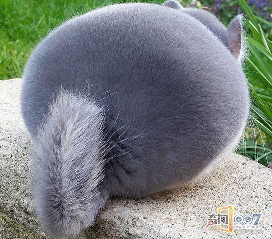 这个毛茸茸的球一样的东西叫龙猫。    不是吃太撑,也没有经过PS,人家天生长这样。    这些龙猫的伺养者叫卡梅隆,是做育种工作的,现在专门饲养这种很有观赏性的紫罗兰龙猫,它们的突出特征就是屁股圆。    他并没有给它们喂过量的食物,也没修剪毛发,这就是它们最自然的样子。    刚出生不久时是这样的。    稍微大一点的时候是这样。    然后就变成了这样。喜欢它的可以转发,但别笑它,长成这样又不是它们的错!