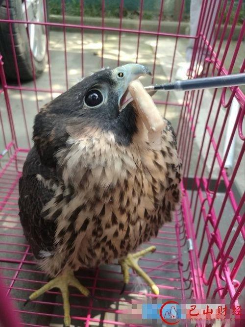 园林将一只国家二级野生保护动物——松雀鹰放归山林