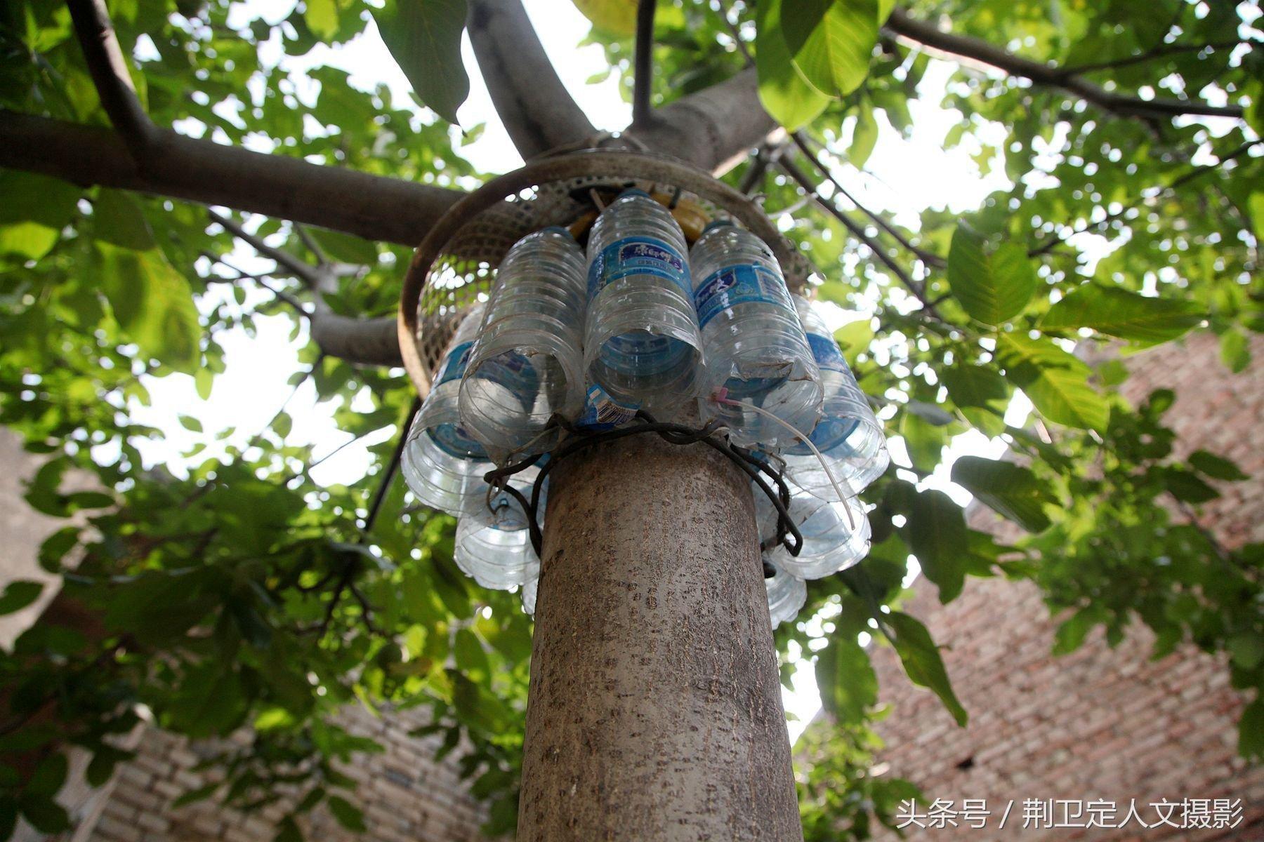 树上核桃屡屡被盗,82岁老人废物利用让小偷无计可施